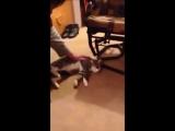 Кот-притворщик, не желающий идти гулять