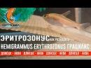 Hemigrammus erythrozonus грацилис эритрозонус aquariumvissen akvarijske ribe akvaariumi kalad