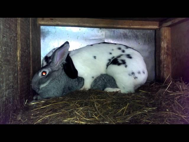 Прикол Спаривание кроликов