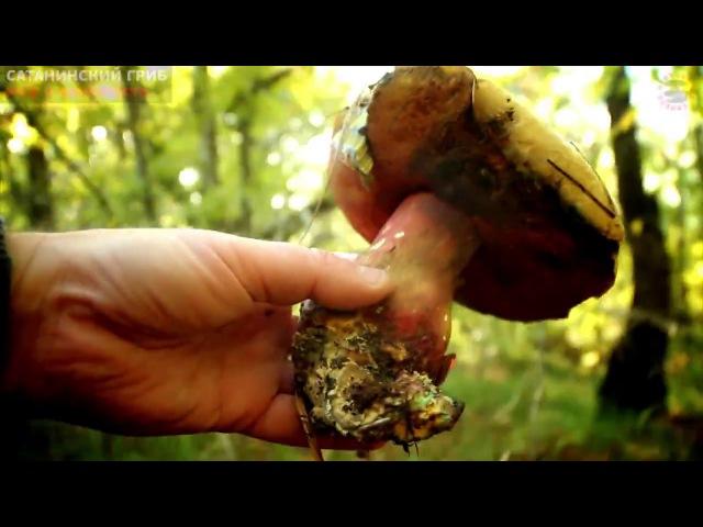 Сатанинский гриб - на самом деле, не ядовит и вкусен! www.grib.tv
