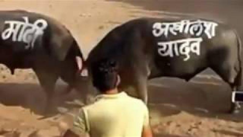 Modi Vs Akhilesh Yadav Bull Fight Whatsapp Masti By Sk studio