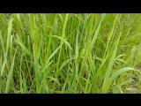 Ветер шумит в траве