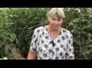 Что делать с томатами в теплице. Советы агронома.