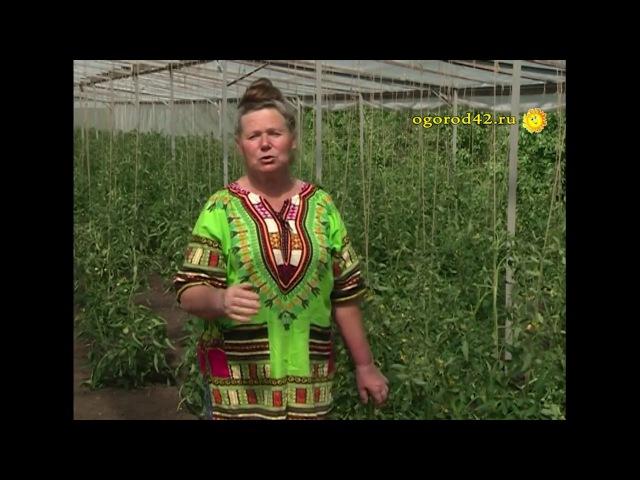 Самый простой способ увеличить урожай томатов в теплице
