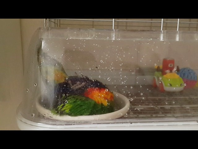 лорикет lorikeet bird animal wash baby