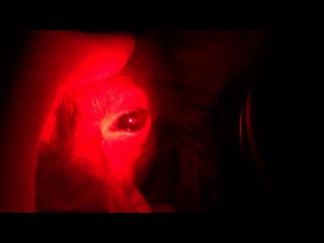 Офтальмологическое обследование собаки породы той-терьер с потерей зрения