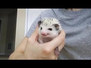 Evie the Hedgehog