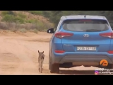 Малыш антилопы гну ищет мать