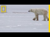 See How They Track Polar Bears in Russia  National Geographic