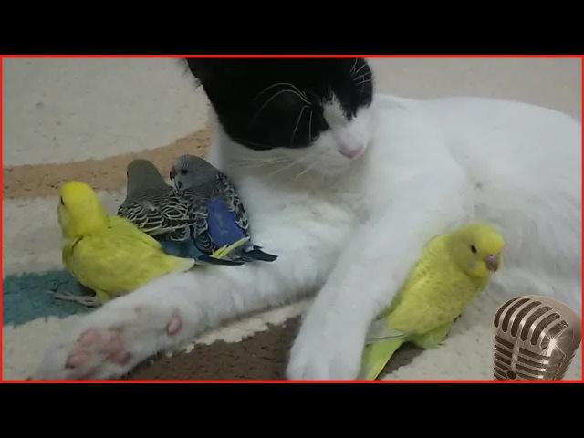 Вечернее пение волнистых попугаев слушать онлайн