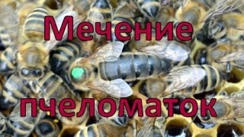 Мечение пчеломаток с помощью маркера и накладных номеров