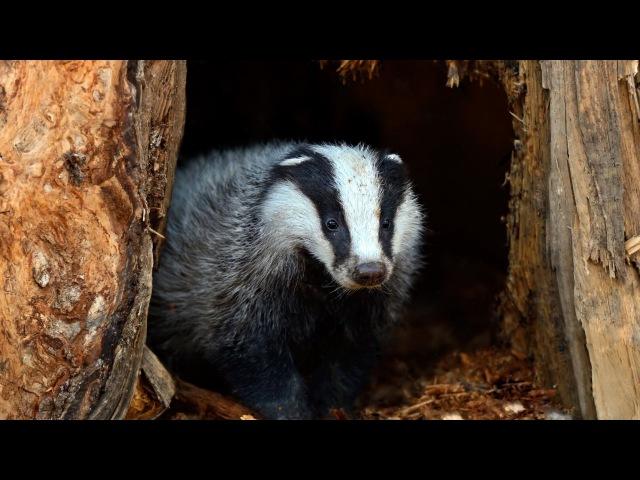 Барсук. Жизнь барсука в дикой природе
