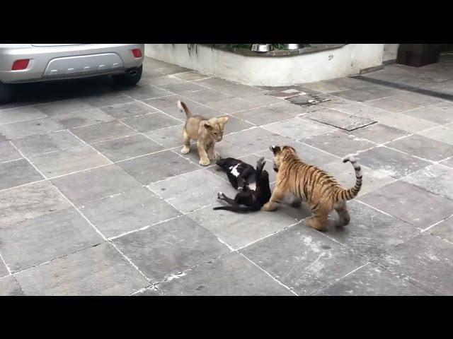 Perro conoce a tigres y leones por primera vez! 2017 HD