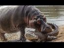 Дикие животные Африки. Нападение бегемотов на людей. Дикая природа
