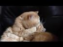 Страстный поцелуй кота :)))