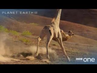 Столкновение львицы и жирафа — ещё одна драма из жизни дикой природы от Би-би-си