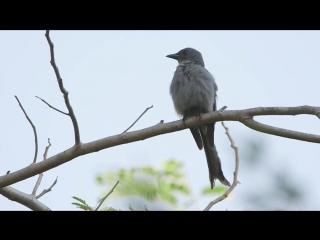 Ashy Drongo / Пепельный дронго / Dicrurus leucophaeus