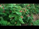 Чем порадовать ягодные кустарники в период вызревания плодов.mp4