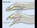 Механизм глоточных челюстей у мурен