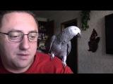 Попугай разговаривает на ровне с хозяином.Жако.
