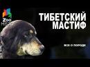 Тибетский Мастиф Все о породе собаки Собака породы Тибетский Мастиф