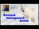 Белый полярный волк
