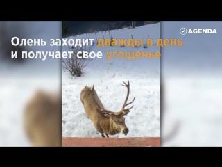 Дружба с оленем