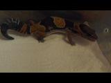 Fat tailed gecko - Zorg