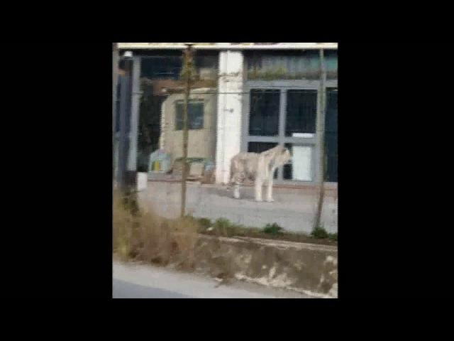 Tigre fugge da circo a Palermo