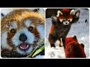 Красная Панда / Веселая Видео Подборка! Red Panda Funny /