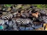 Animals Attacks On Lion Buffalo vs Lion vs zebra Animal attack. Nature &amp Wildlife compilation
