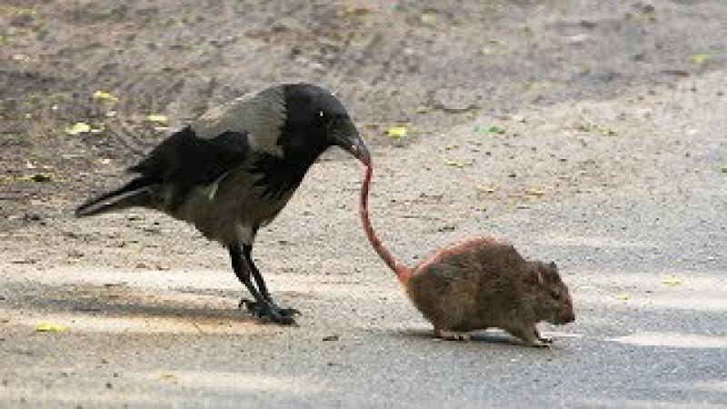 Вороны Против Крыс! Слабонервным не смотреть! 18