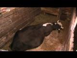 Корова рожает в прямом эфире