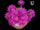 Bored Panda - Blooming cactus flower timelapse (read more...