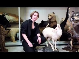 КАБАРГА - редкие и исчезающие виды животных России