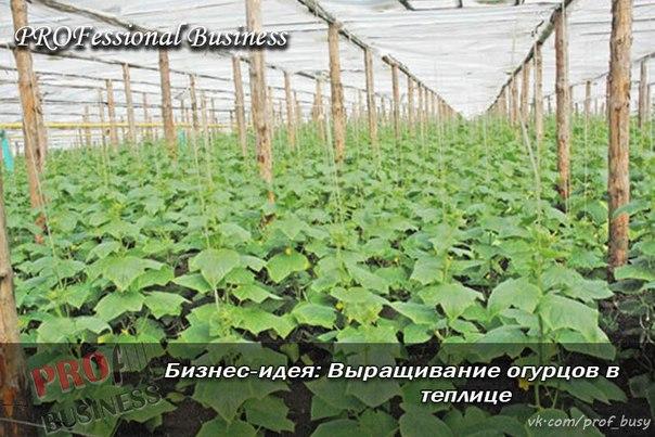 Бизнес план выращивание огурцы 73