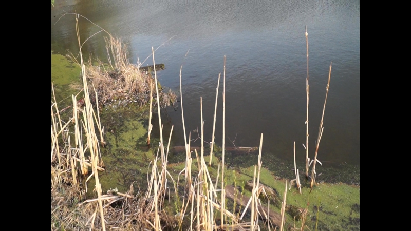 Заросший пруд (болото) недалеко от деревни в Кольчугино на закате весной в полупасмурный день
