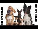 Спиноне - собака итальянских охотников собаки dogs породысобак легавые спиноне