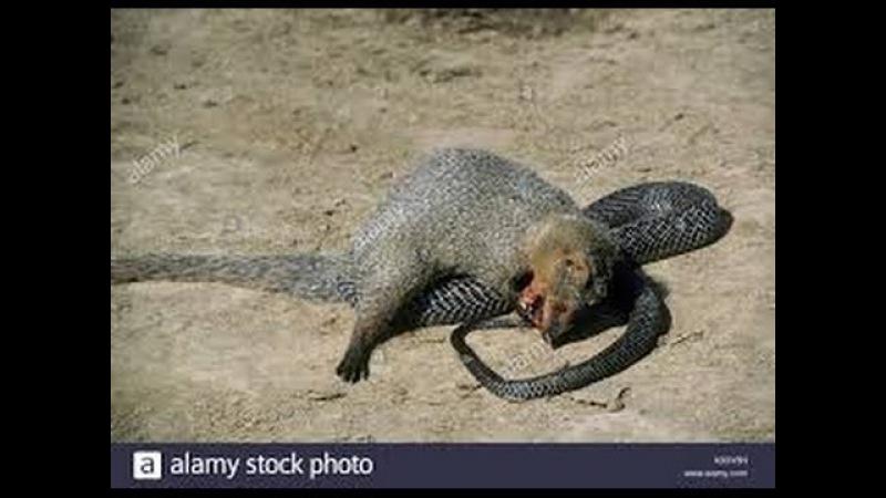 Chồn hôi lửng mật chim đại bàng đại chiến rắn hổ mang chúa siêu bự - eagle vs mongoose vs king cobra