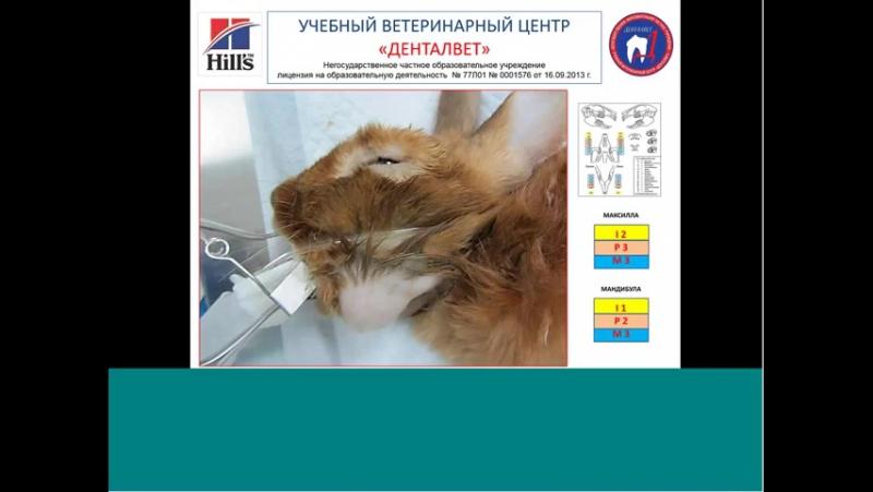 УВЦ Денталвет и Hills Стоматология грызунов и зайцеобразных