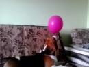Бигль и шарик