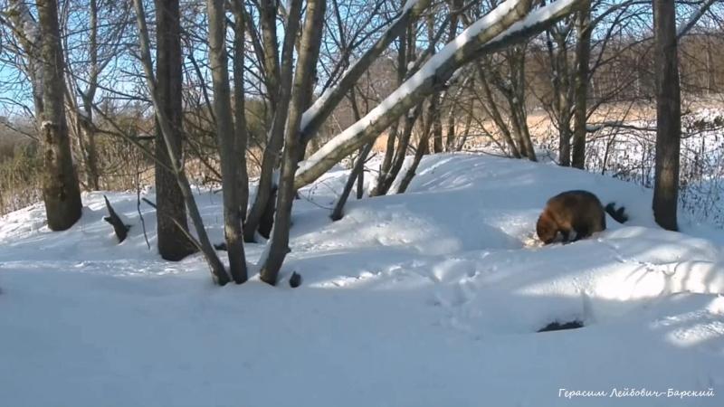 Природа и Фауна :) Енотовидные собаки, понос и лесорубы Эстонии. У норы барсука на острове Сааремаа :( 02.12.2016.