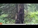 Медведица учит медвежат тереться о деревья