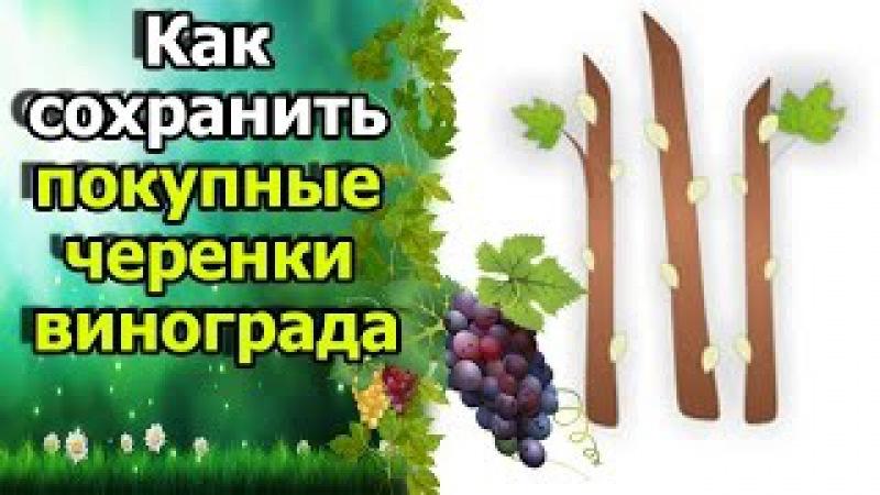 🍇Что делать с покупными черенками винограда? Вымочка, обеззараживание, хранение.