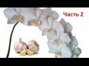 Поливаем Орхидеи чесночным настоем для цветения Часть 2 Полив орхидей чесноко