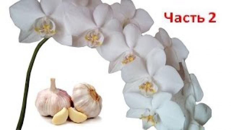 Поливаем Орхидеи чесночным настоем для цветения. Часть 2 . Полив орхидей чесноко ...