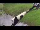 Когда забираешь друга с вечеринки (пьяный панда)