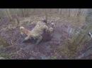 Охота на кабана с Лайками!Рыбалка и Охота видео 2016