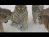 В Китайском зоопарке тигры поймали квадрокоптор.