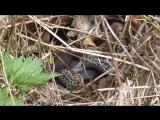 Змеи. Вторая видеосъёмка. 21 мая 2017 года.